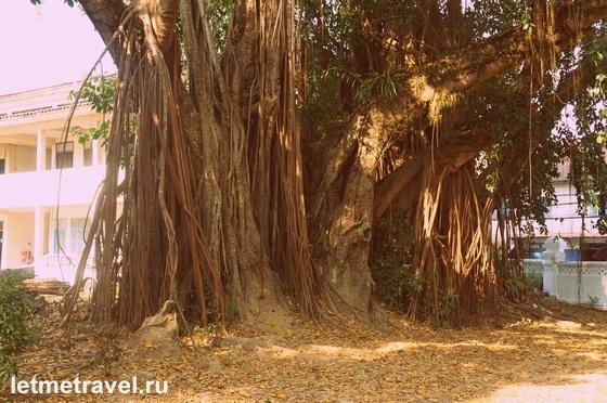 Удивительное дерево в парке на территории Королевского Дворца