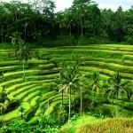 Зарисовки с волшебного острова Бали. Велопрогулка по рисовым полям часть 1.