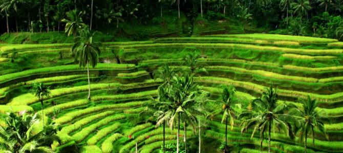 Зарисовки с волшебного острова Бали. Велопрогулка по рисовым полям часть 2